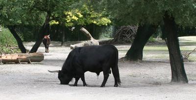 Auerochse im Zoo München