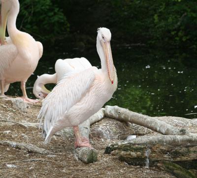 Frisch geputzer Pelikan